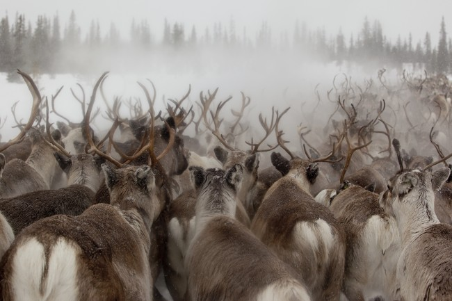 Returning to Sweden (my homeland), I spent 5 days traveling with migrating reindeer. It was very cold – but cathartic and utterly magical. In this image I was drawn to how the reindeer antlers resembled braches of the distant tree line.