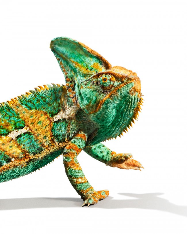 Veiled_Chameleon_crop2