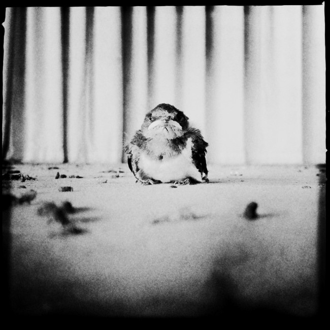 Fukushima series: A baby swallow at an abandoned elementary school in Ukedo, a highly restricted area in Fukushima, due to the radiation caused by the 2011 Fukushima nuke power plant disaster. Fukushima, Japan, 2014.