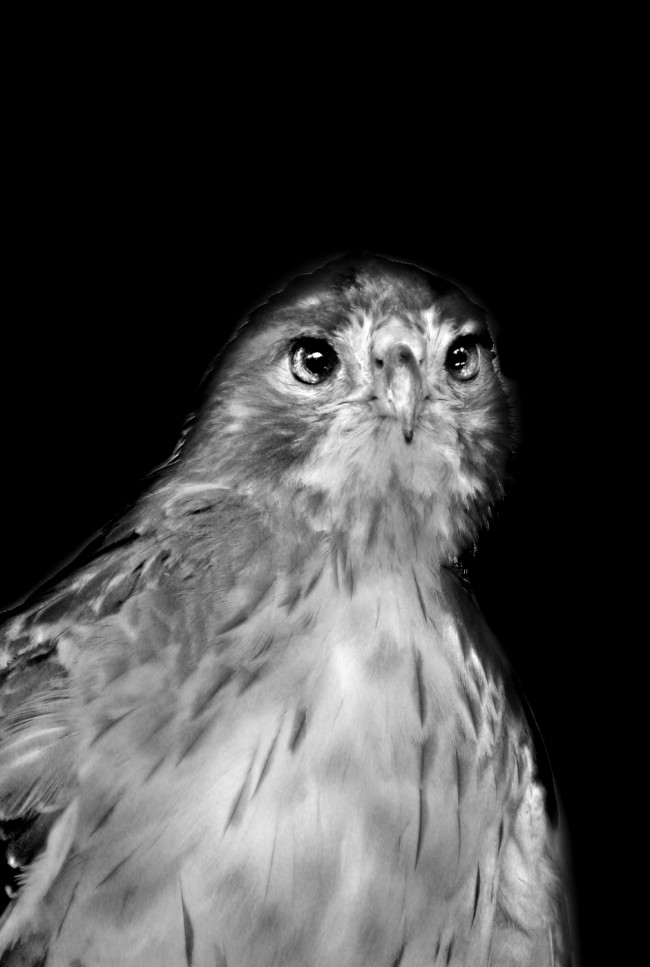 A Florida raptor stares intensely ahead in this black and white photo portrait by Jan Arrigo.