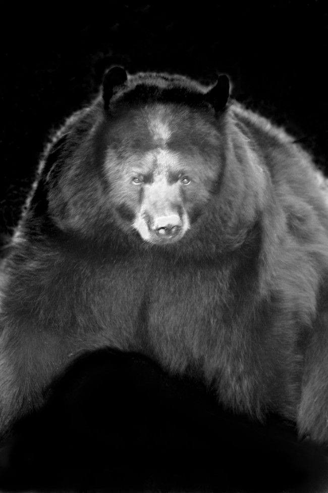 A Louisiana brown bear stares into the camera in this black and white photo portrait taken at the Audubon zoo in New Orleans.