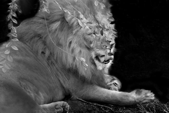 A male lion pants under a moonlit night in this landscape photo portrait.