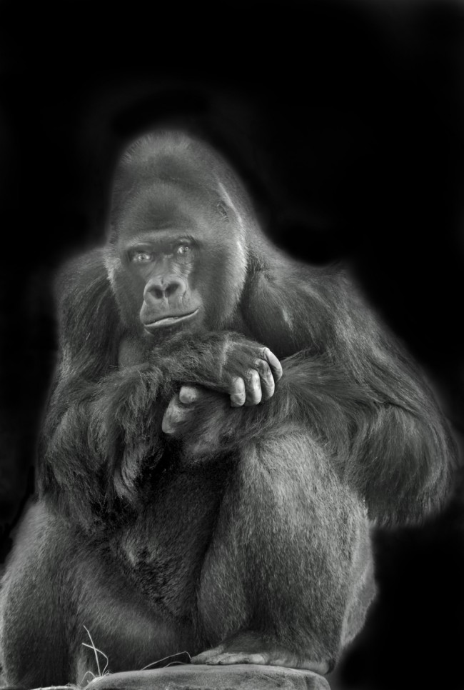 As if posing this Western Lowland gorilla gazes into the camera in this black and white photo by Jan Arrigo.