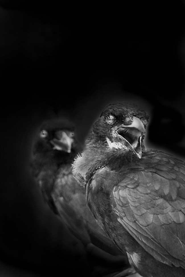 Two black birds react to a photographer in the Florida Everglades in this black and white photo.