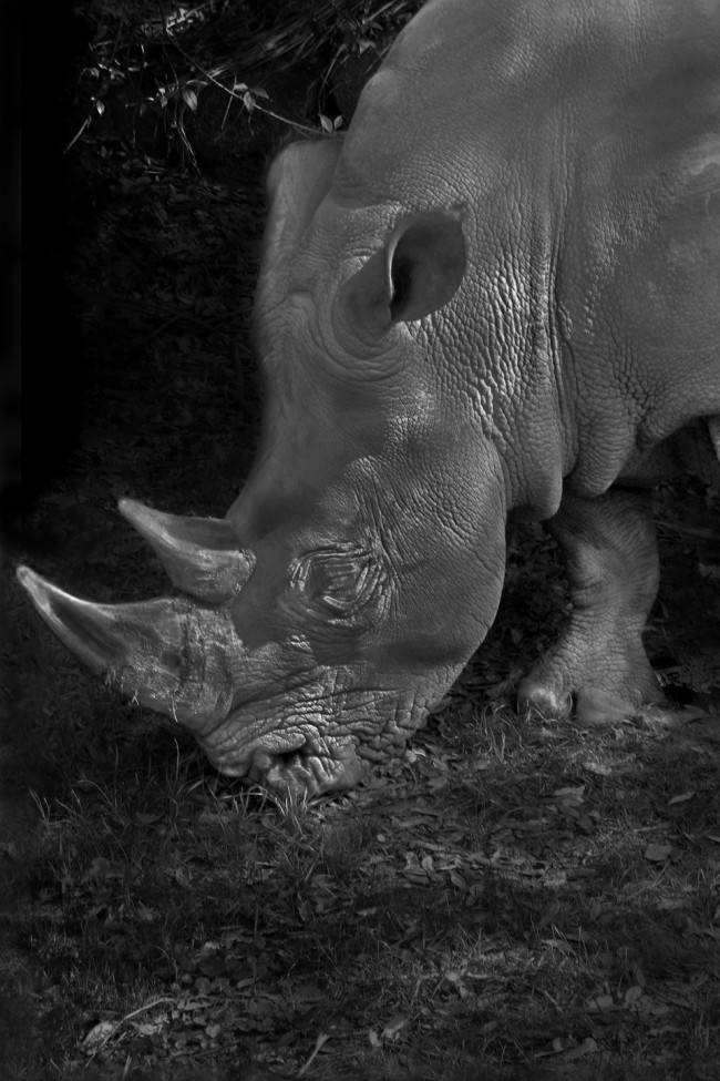 This black and white photo portrait of a large white rhino shows him eating an herbivorous diet.