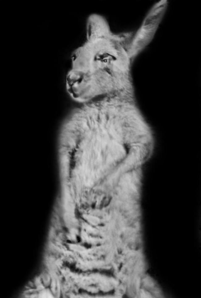 Black and white photo portrait of a boxing kangaroo by Jan Arrigo.