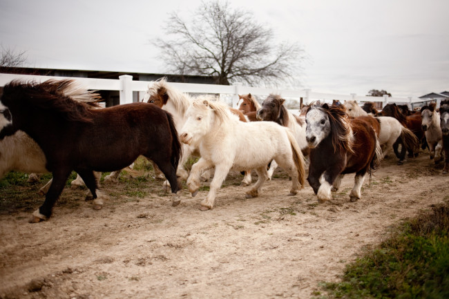 Miniature horses from a story about a miniature horse dentist for The Wall Street Journal.