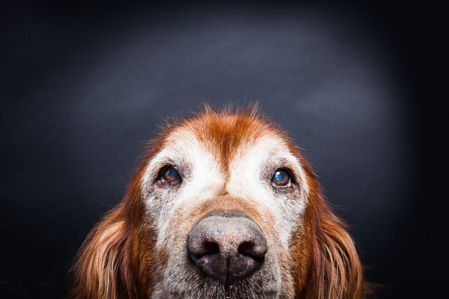 Old dogs photographed at Reciprocity Studio in Burlington by Vermont photographer Judd Lamphere