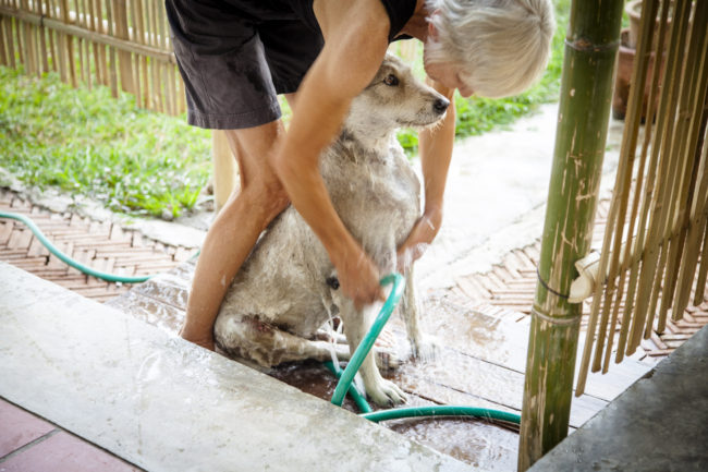 Marianne gives Wolfie a bath. Wolfie was hit by a car and paralyzed in one leg so he now drags it behind him. this leads to scrapes and cuts, so he gets baths to keep the potential for infection down.