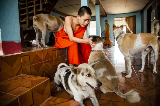 The dogs of Wat Nong Pla Mann happily greet a young monk.
