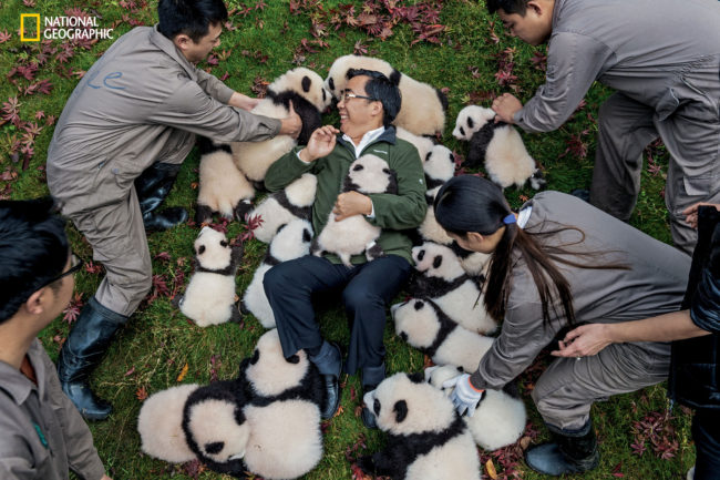 "Photograph by Ami Vitale Zhang Hemin—""Papa Panda"" to his staff—poses with cubs born in 2015 at Bifengxia Panda Base. ""Some local people say giant pandas have magic powers,"" says Zhang, who directs many of China's panda conservation efforts. ""To me, they simply represent beauty and peace."