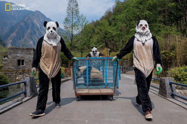 """Photograph by Ami Vitale Wolong Reserve keepers transport Hua Jiao (Delicate Beauty) for a health check before she nishes """"wild training."""" The habitat also protects red pandas, pheasant, tufted deer, and other species that bene t from giant panda conservation."""
