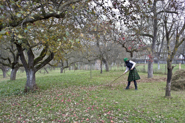 matyas_romania_raking-in-the-apple-orchard