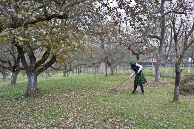 matyas_romania_raking-in-the-apple-orchard