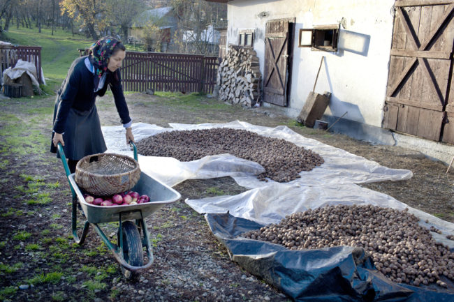 matyas_romania_walnut-season