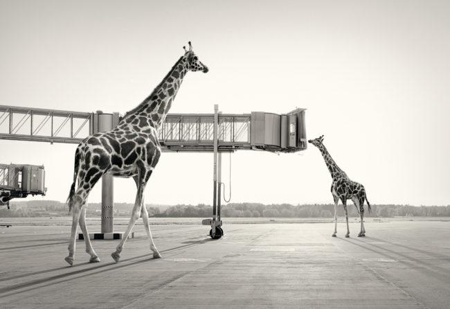giraffen_37%20kopie